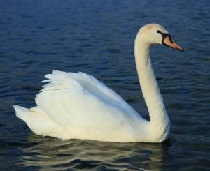 Mute-Swan-C